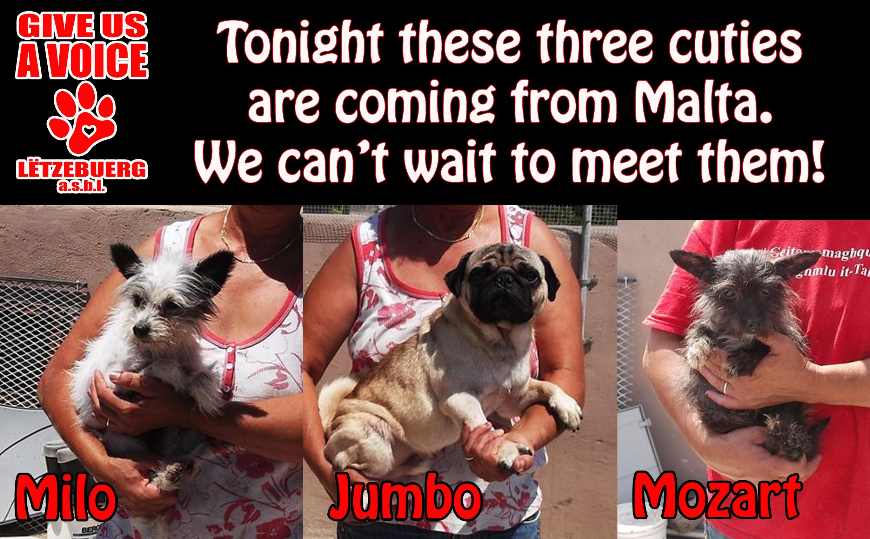 AAA Malta dogs coming! copy
